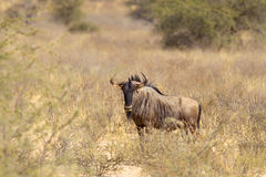 Wildebeest in African bush Royalty Free Stock Image