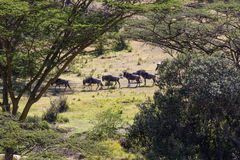 Wildebeest. African bush vista with wildebeest Royalty Free Stock Photos