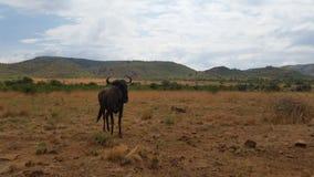 Wildebeest in the African bushveld. Incredible lone male wondering the savannas of Africa royalty free stock image