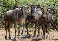 Wildebeest Royalty Free Stock Photos