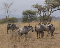 Wildebeest on the African plain. A herd of widebeest, seen on safari, in Ngorongoro Crater National Park, in Arusha, Tanzania stock photography