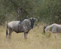 Wildebeest on the African plain. Wildebeest, seen on safari, in Ngorongoro Crater National Park, in Arusha, Tanzania stock photos