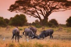 Wildebeest on african savannah Stock Photo