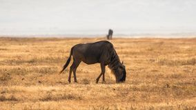 Wildebeest in african savannah, at Ngorongoro , Tanzania stock photos