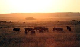 Wildebeest africano Fotografia Stock
