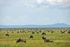 Wildebeest, afrykańska przyroda Afryka, Tanzania Zdjęcie Stock