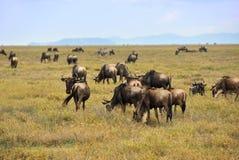 Wildebeest, afrykańska przyroda Afryka, Tanzania Obrazy Royalty Free