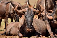 Wildebeest Alpha Male Royalty Free Stock Photo