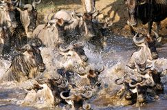 Crossing of wildebeests along Mara river Royalty Free Stock Photography