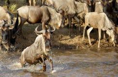 Wildebeest crossing Mara river Stock Photos