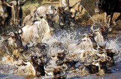 wildebeests rushing in Mara river while migration Stock Photos