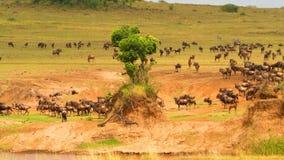 Wildebeest - Amazing Herd Of Antelopes Gnu, Wild Nature, Wildlife, Wild Animal, Africa, Savanna Stock Images