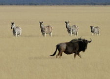 Wildebeest & zebra Immagine Stock