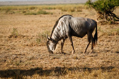 Wildebeest antelope Royalty Free Stock Image