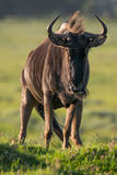 Wildebeest Antelope Stock Photo