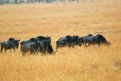 Wildebeest antelopes in the savannah Stock Photos