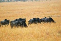 Wildebeest antelopes in the savannah Stock Photos