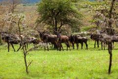Wildebeest antelopes in the savannah Maasai Mara National Park, Royalty Free Stock Photos