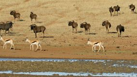 Wildebeest and antelopes at a waterhole stock video