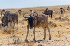 Wildebeest antilope Στοκ φωτογραφία με δικαίωμα ελεύθερης χρήσης