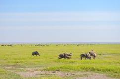 Wildebeest antylopy w sawannie, Afryka Obraz Stock