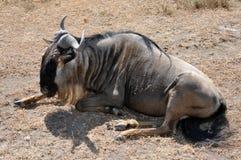 Wildebeest assentado foto de stock