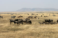 Wildebeest au masai Mara Photos stock