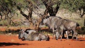 Wildebeest azul almacen de video