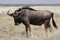 Wildebeest azul Fotos de Stock Royalty Free