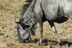 Wildebeest azul Imagem de Stock Royalty Free