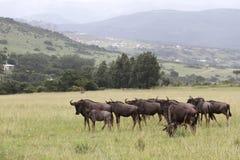 Wildebeest azul Fotografía de archivo libre de regalías