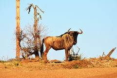 Wildebeest azul Imagens de Stock Royalty Free