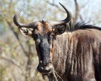 Wildebeest azul com chifres Imagem de Stock Royalty Free