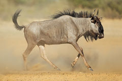 Wildebeest azul na poeira foto de stock royalty free