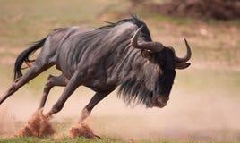 Wildebeest azul (taurinus do Connochaetes) Imagem de Stock