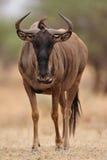 Wildebeest azul (taurinus do Connochaetes) foto de stock