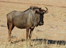 Wildebeest azul (taurinus do Connochaetes) Imagens de Stock