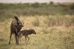 Wildebeest_with_baby fotografia stock libera da diritti