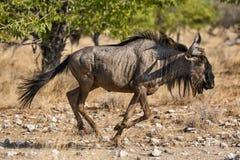 Wildebeest bieg w sawannie Zdjęcie Royalty Free
