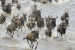 Wildebeest Royalty Free Stock Photo