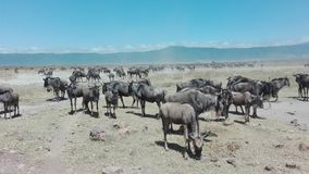 Wildebeest bij Ngorongoro-krater Stock Foto's