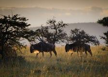 Wildebeest bij zonsopgang Royalty-vrije Stock Afbeeldingen
