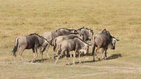 Wildebeest Blanc-Barbu Images stock