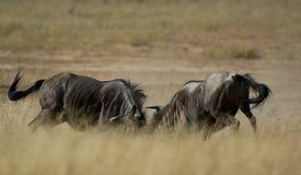 Wildebeest bleu Image libre de droits