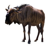 Wildebeest bleu Photographie stock