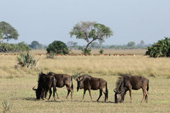wildebeest bleu Photo stock