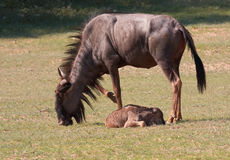 Wildebeest bleu (taurinus de Connochaetes) Photographie stock