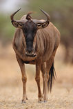 Wildebeest bleu (taurinus de Connochaetes) photo stock