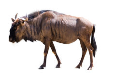 Wildebeest blu Fotografie Stock Libere da Diritti