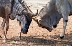 Wildebeest blu Immagini Stock Libere da Diritti